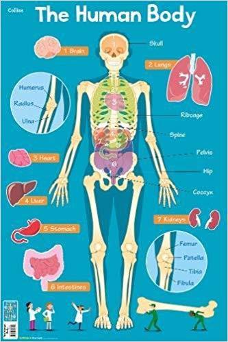 Human Body (Collins Children's Poster)